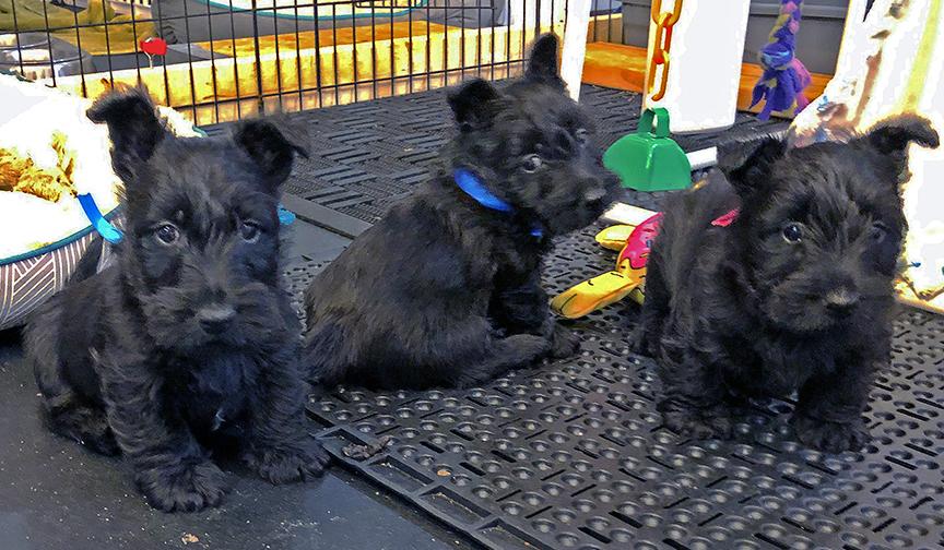 Kingsdale Scottish Terriers 2018 litter is now 6 weeks old