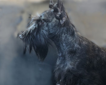 Sno Pond's My Miss Markle at Kingsdale, Scottish Terrier