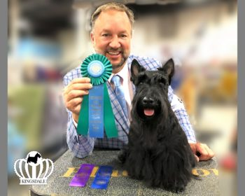 NY based Kingsdale Scottish Terrier finishes AKC Championship in 3 weeks