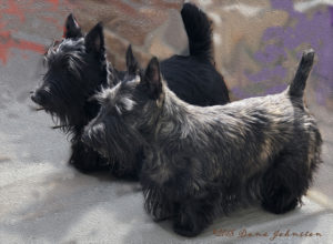 Two Scottish Terrier show puppies came to Kingsdale Scottish Terriers in 2018
