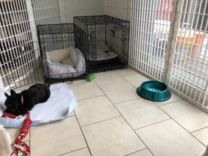 Scottish Terrier puppy getting used to her crate