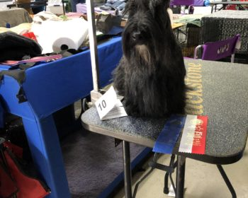 Kingsdale Scottish Terrier wins Best of Opposite Sex at show