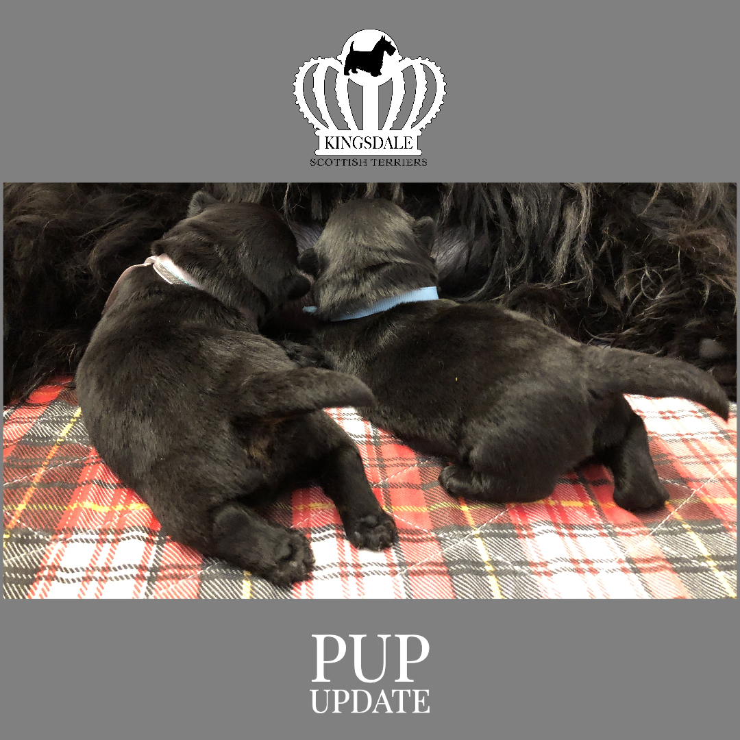 Two 7 day old Kingsdale Scottish Terrier puppies nursing