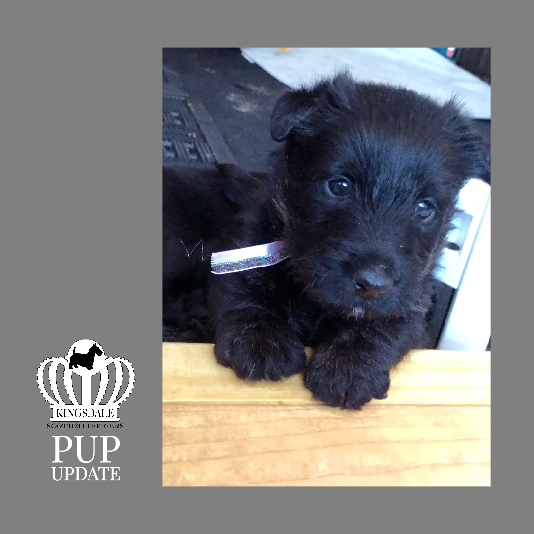 Four week old Kingsdale Scottish Terrier