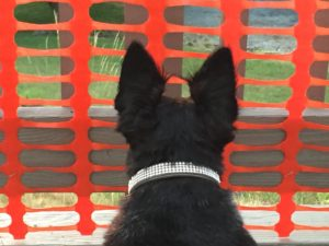 Purebred Scottish Terrier on the lookout