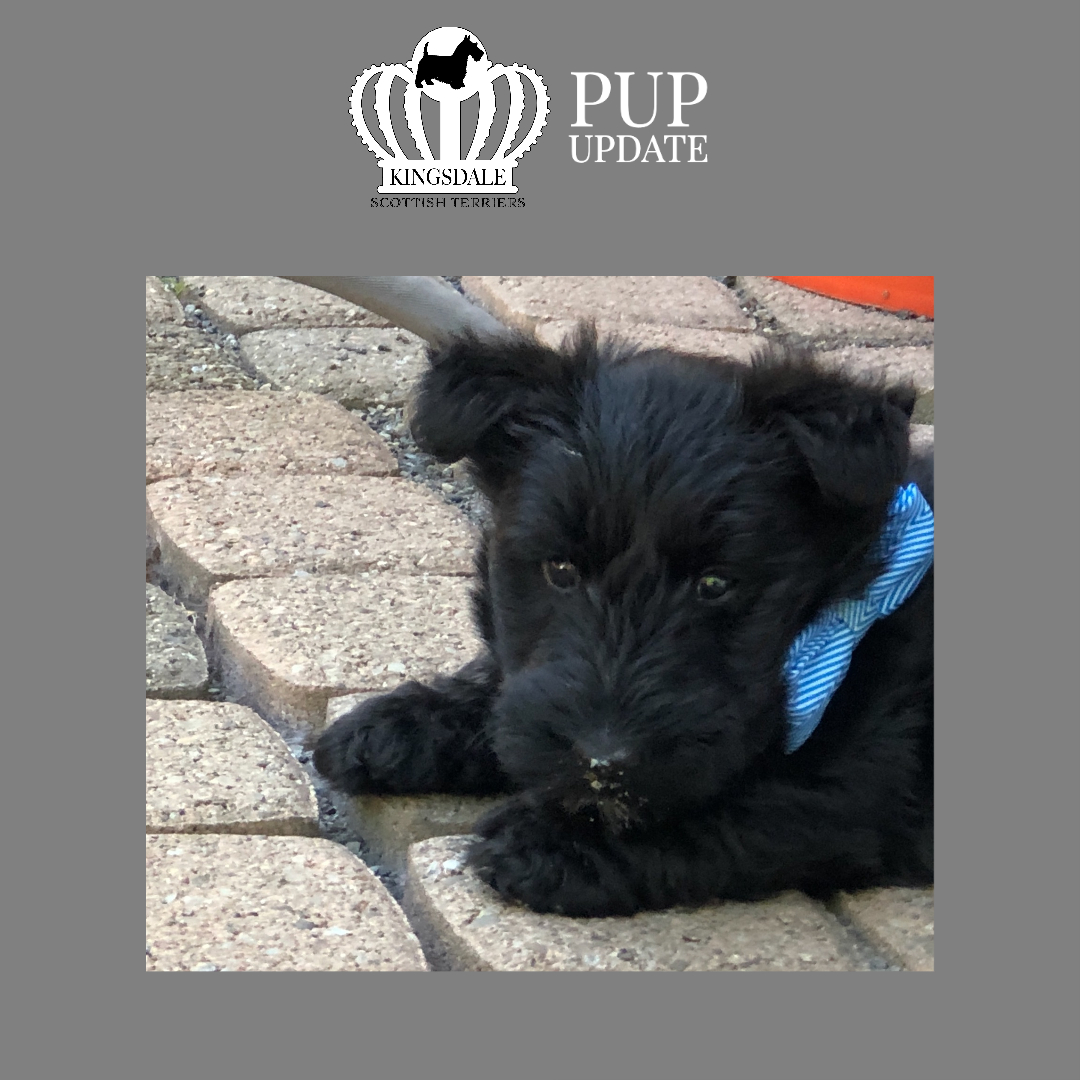 Kingsdale Scottish Terrier boy puppy 2020 6 wks