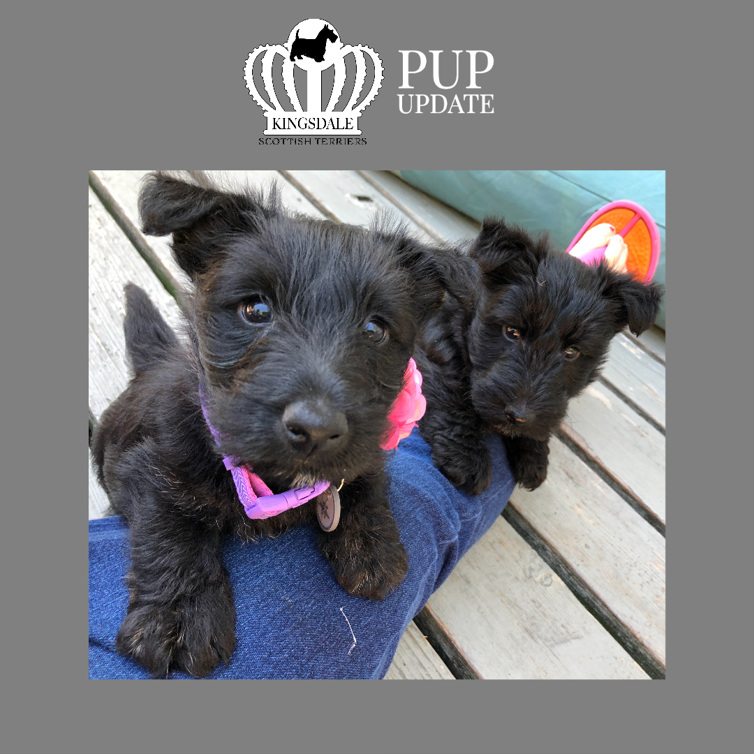 Kingsdale Scottish Terriers 6 wks 2020