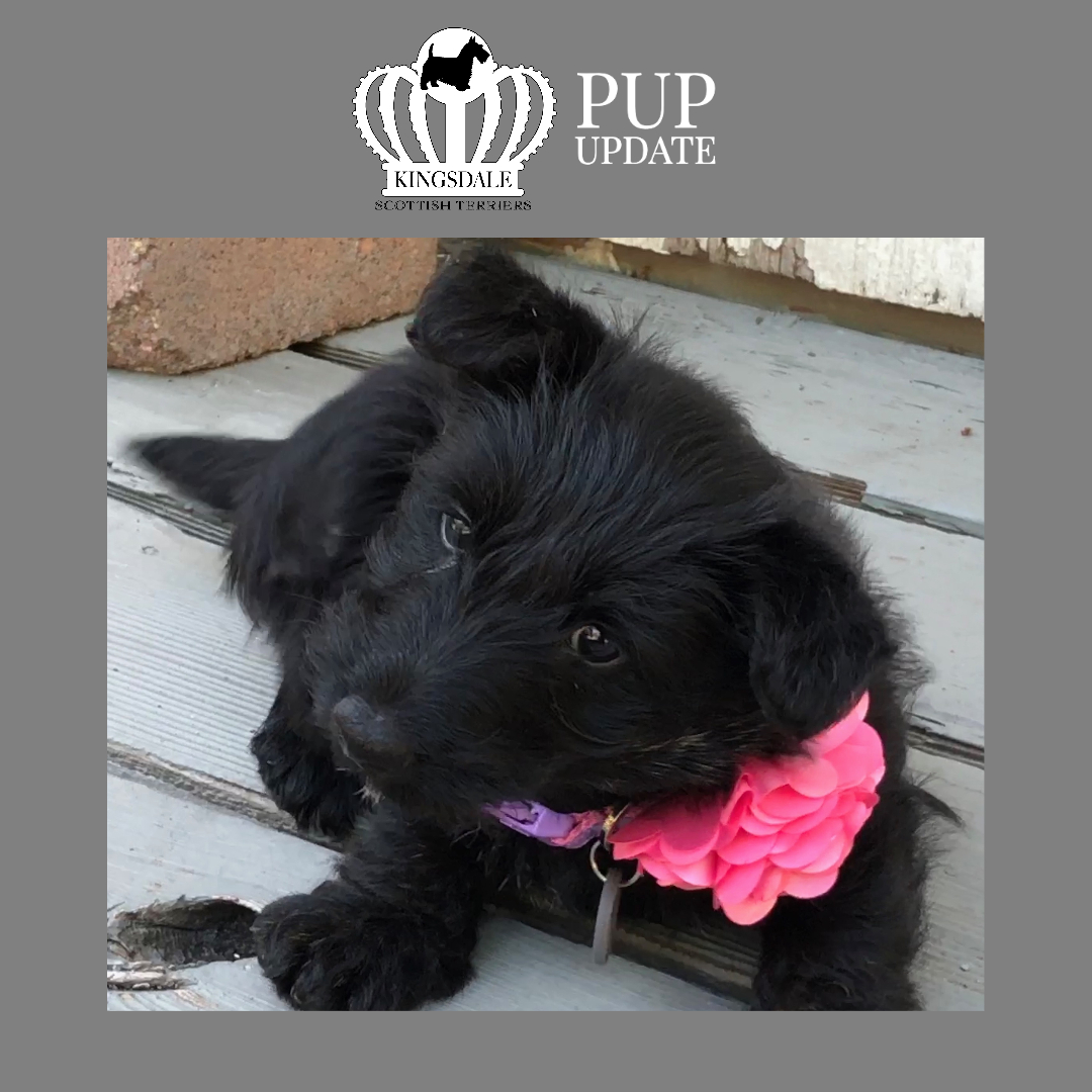 Kingsdale Scottish Terrier girl 6 wks 2020