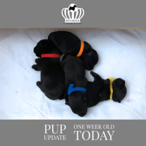 4 one week old Scottish Terrier puppies napping at Kingsdale Scottish Terriers
