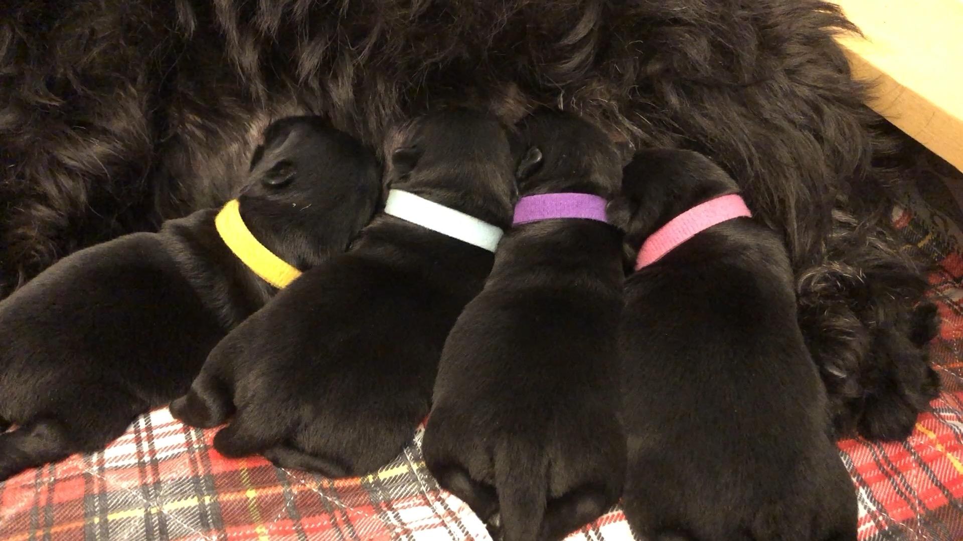 Four newborn Scottish Terrier puppies nursing with their Mom