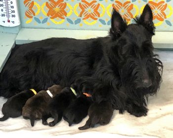 New Kingsdale Scottish terrier puppies born October 2021
